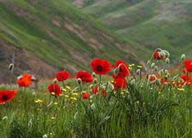خواص درمانی گل شقایق سرخ