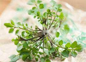 ۵ گیاه دارویی برای سلامت و تقویت مغز
