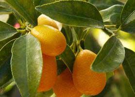 خواص شگفت انگیز میوه کامکواک